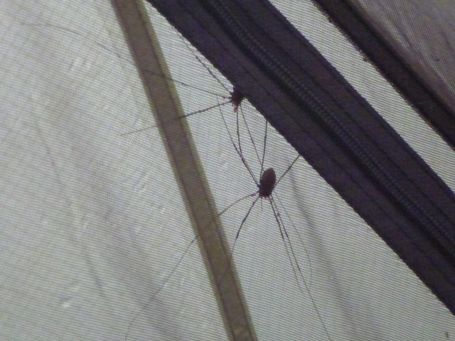 Harvestmen sheltering from the Storm