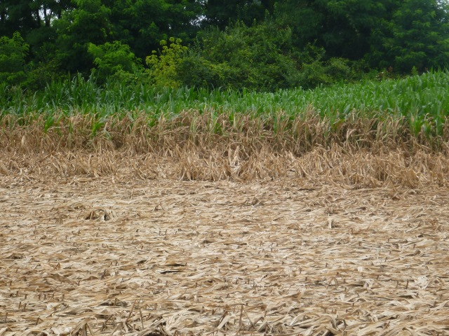 corn after the flood