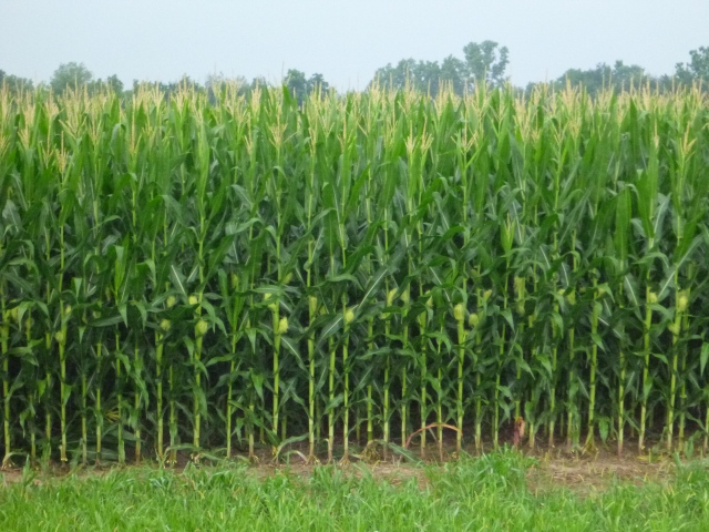 the corn is as high as a Long Rider's eye!