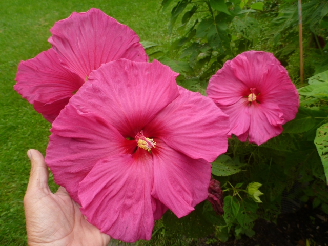 mom grew this gigantic Hibiscus just for me!
