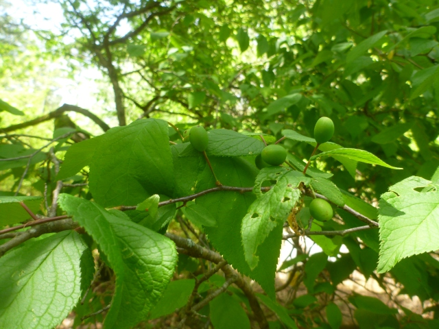 the mystery tree is growing plums