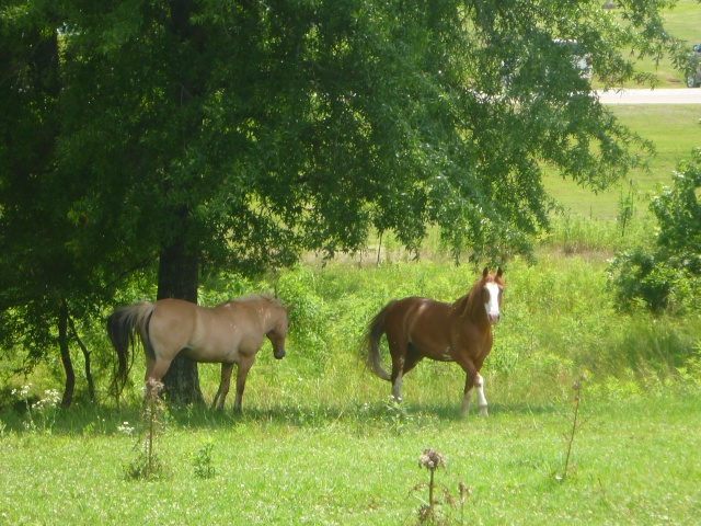 Summer Ponies in the Shade