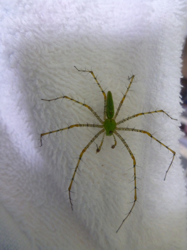 a green lynx spider - it can shoot poison up to 1'!